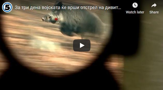 За три дена војската ќе врши отстрел на дивите свињи како превентива од свинска чума